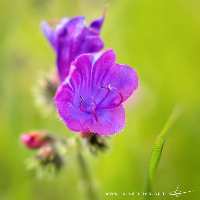 Soagem (Echium plantagineum) 1/500@f/4, ISO 400 (85mm + 32mm)
